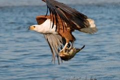 African Fish Eagle 01 by Daniel Dolpire-2-12