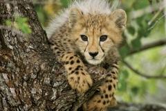 Cheetah Cub 01 by Daniel Dolpire-2-15