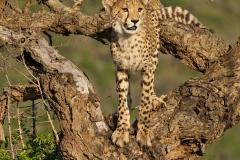 Cheetah zuka dec 2011-2-56