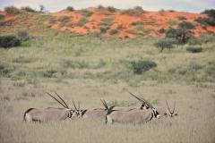 Gemsbok in the long grass in the Kgalagadi-2-45