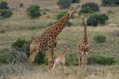 Giraffe 1-2-42