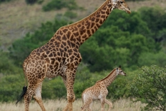 Giraffe 2-2-41