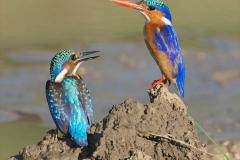 Malachite Kingfishers 1-2-52