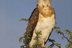 Sub-adult Black-Chested Snake-Eagle-2-46