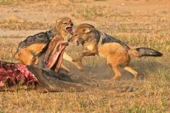 black-backed jackals fighting! - Version 2-2-32