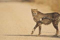 cheetah 2 2-2-53