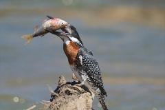 giant kingfisher-2-54