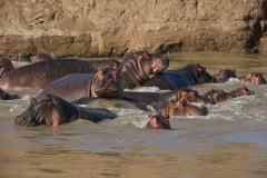 hippo 2 1-2-50