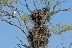Martial Eagle at nest
