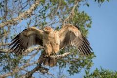 Pale form Tawny Eagle-3-47