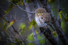 Pearl-Spotted Owlet-2-50