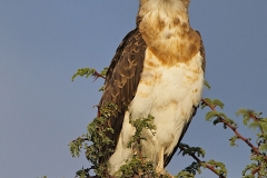 Sub-adult Black-Chested Snake-Eagle-2-37
