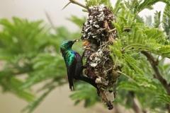 Sunbirds  4