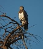 martial eagle 1-2-35